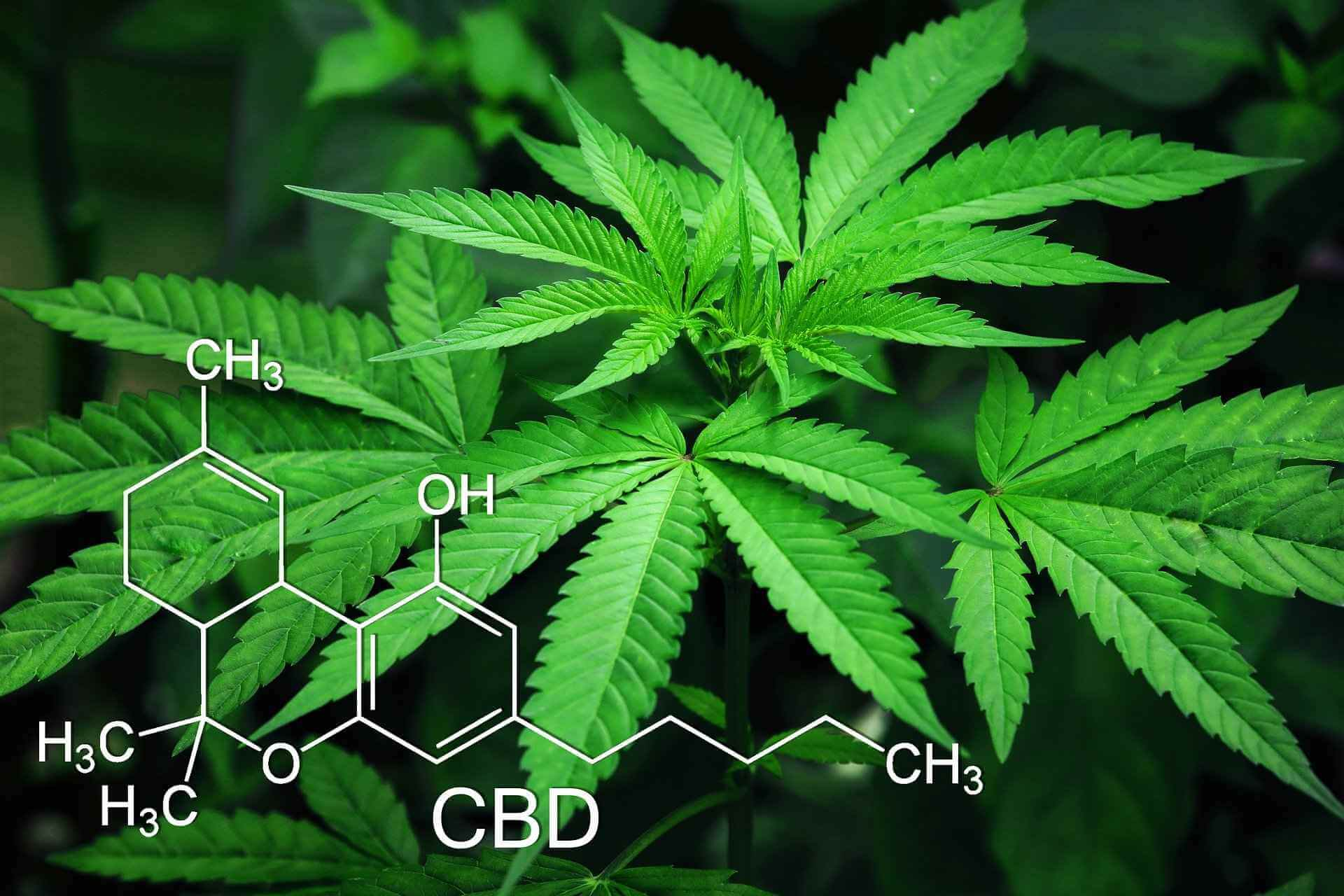 Kannabinoidy i układ endokannabinoidowy, a CBD